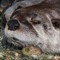 Otters wiskers_4242