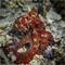 IMG_4469_Octopus_cyanea