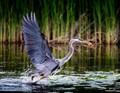 Blue Heron hunting