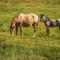 horses (1 of 1)