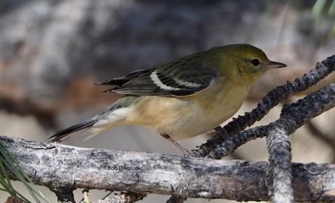 Bay Breasted Warbler 2