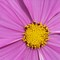Yellow Core of Pink Cosmos: