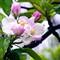 Apple Blossom_AJG_HRDSC_02