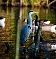 Heron on pond