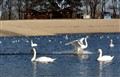 Swan captured at touchdown