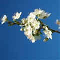 Wild cherry plum blossoms
