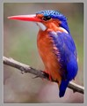 Malachite Kingfisher at Lake Mburo, Uganda