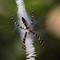 Orb Weaver Spider 01