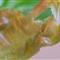 Begonia Leaf 1