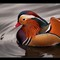 Mandarin Duck _ Handsome