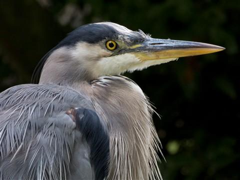 Heron - RAW
