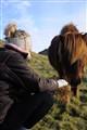 Wild ponies in Cornwall, UK. 2