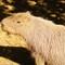 Capybara - CWP
