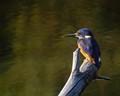 Kingfisher in autumn light