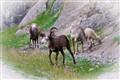 Albertan Goats