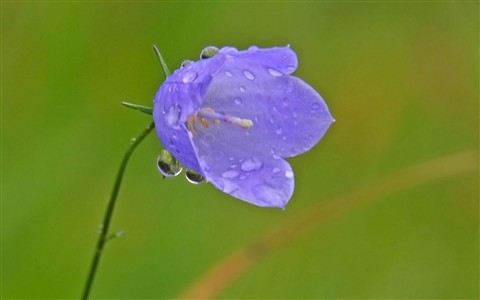 bluebell_in_rain_2