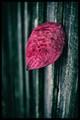 Red Leaf on Fence