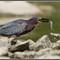 Green Heron Eating a Fish 1