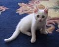 Ripley T Kitten