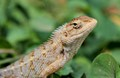 Garden Lizard- Calotes