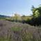 lavnder field