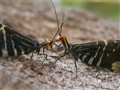 Lacewings Antenna Wrestling