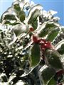 Iced Holly Berries