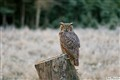 One on One (Great Horned Owl)