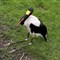 Saddlebill Stork 2