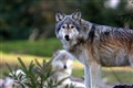Mexican Wolf Couple