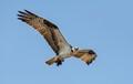 Osprey with its catch