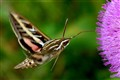 White Lined Sphinx Hummingbird Moth
