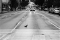 Pigeon Crossing the Road