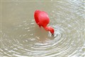 Rare Species Of Water Bird In Red