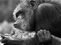 Chimp - San Francisco Zoo