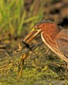 Now What?  Green Heron and Frog