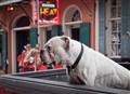 new orleans bulldog (1 of 1)