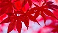 Crimson Maple Leaves