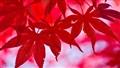 Crimson Maple Leaves
