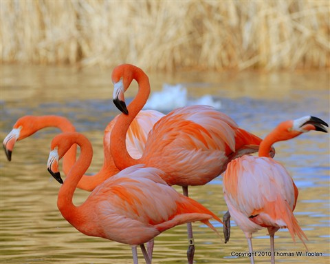 Flamingoes 2