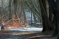 Cedar Forest at Dusk
