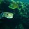 porcupinefish_0005