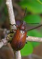 Beetle with Rough Exoskeleton