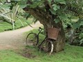 Old bike under a tree