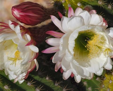cactus flowers medium