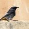 Black Redstart (Phoenicurus ochruros) A5100
