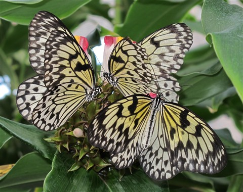 Butterfly Trio_00037