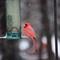 Cardinal in Light Snowfall