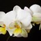 Orchid pp1 small