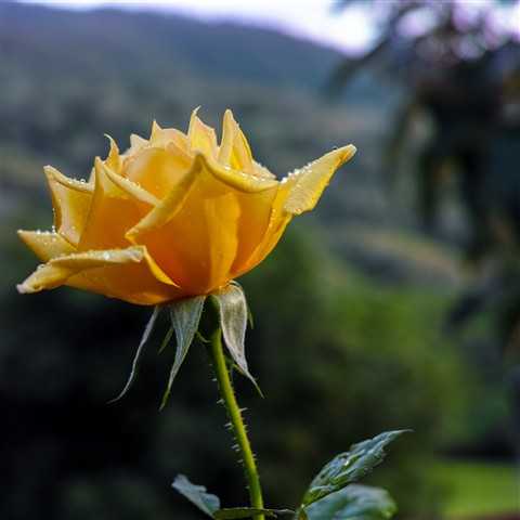 VH_20130311_yellow rose_2